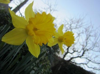 beautiful yellow daffodil close-up picture