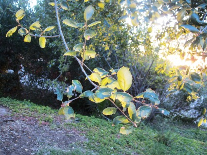 late afternoon illuminating leaves photo