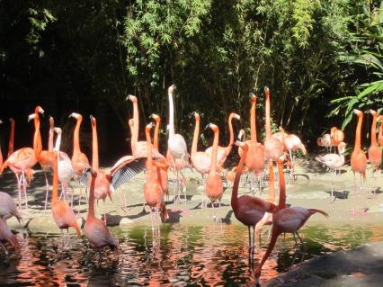 san diego zoo flamingoes