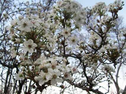 beautiful white blooms on tree branches close-up picture